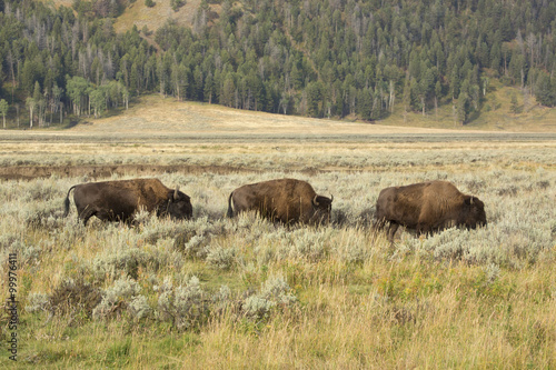 Aluminium Prints Three bison grazing in line in scrublands of Yellowstone.