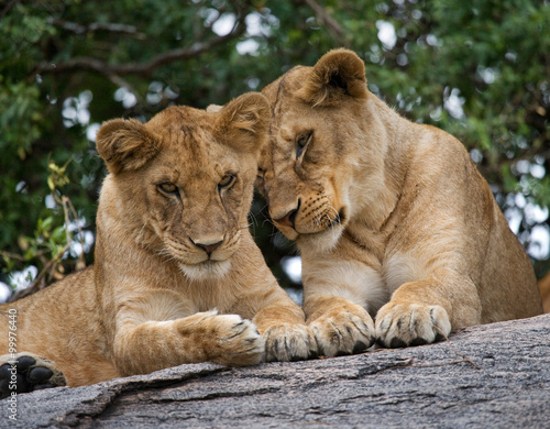 Staande foto Leeuw Two young lions playing with each other. National Park. Kenya. Tanzania. Maasai Mara. Serengeti. An excellent illustration.