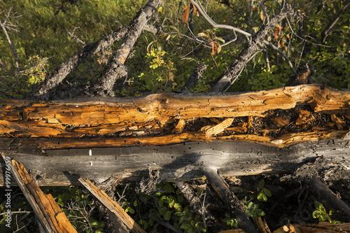 Detail of golden wood of fallen tree, Lamar Valley, Yellowstone. Fototapeta