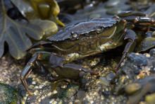 Green Shore Crab (Carcinus Mae...