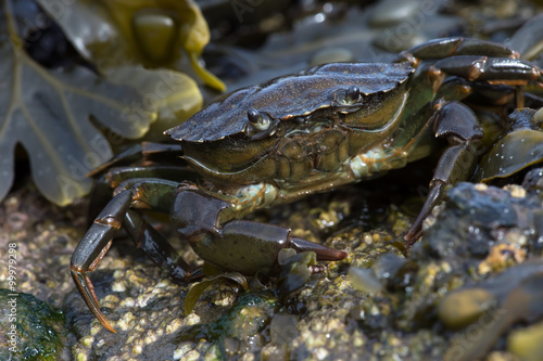 Green Shore Crab (Carcinus Maenus)/Common Crab on seaweed and barnacle encrusted rock