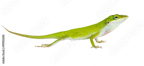 Photo  The lizard  Northern Green Anole (Anolis carolinensis carolinens