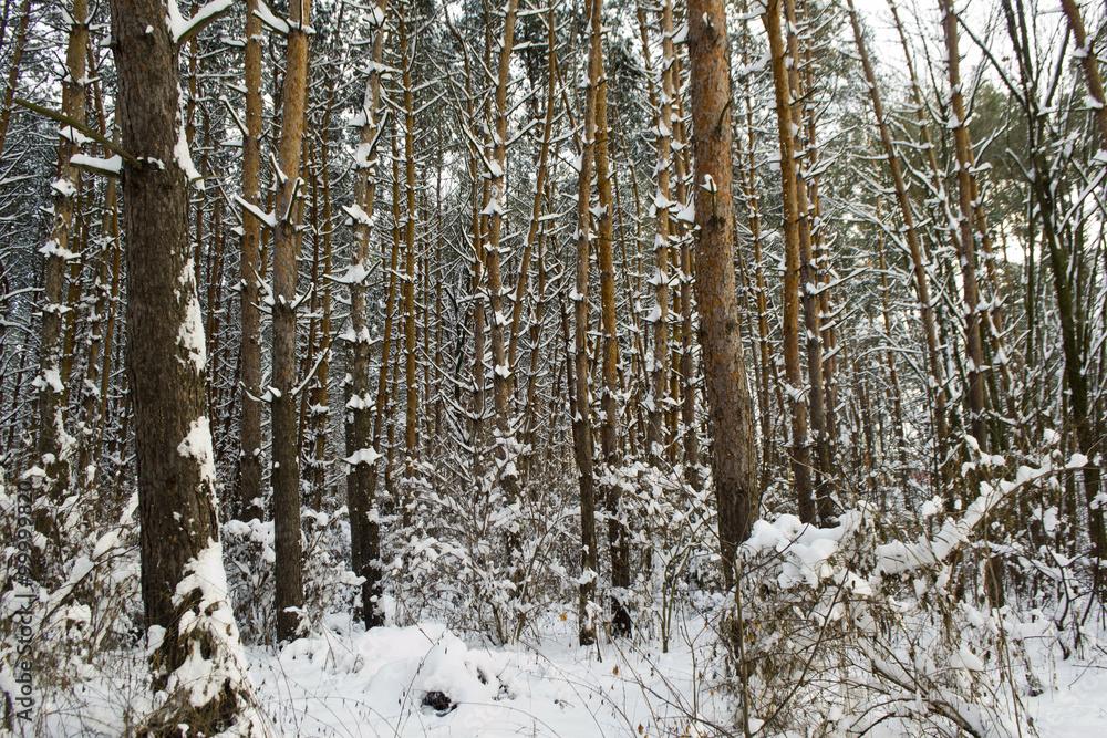 Fototapeta Зима в сосновом лесу