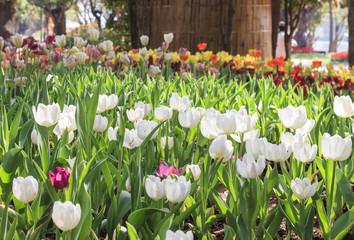 beautiful tulips field in garden
