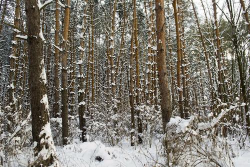 Obraz Зима в сосновом лесу - fototapety do salonu