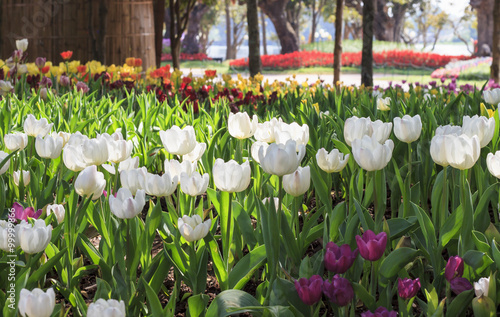 Obraz beautiful tulips field in garden - fototapety do salonu