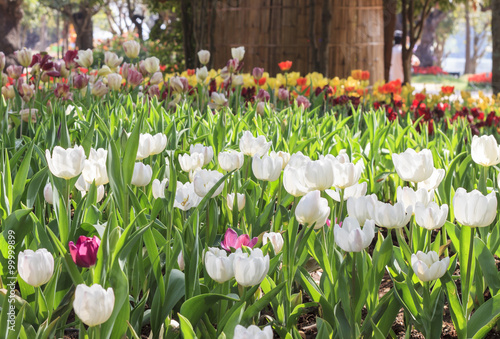 Fotografia, Obraz beautiful tulips field in garden