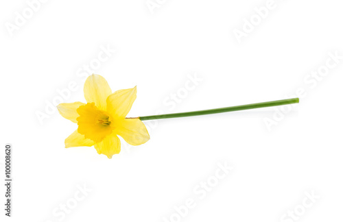 Deurstickers Narcis Yellow daffodil isolated on white.