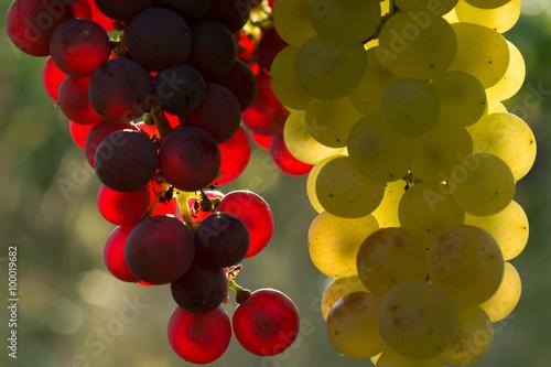 Weintrauben - 100019682