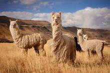 Llamas (Alpaca) In Andes,Mount...
