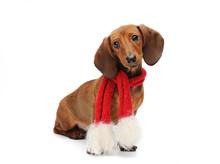Dachshund Puppy With A Christmas Scarf