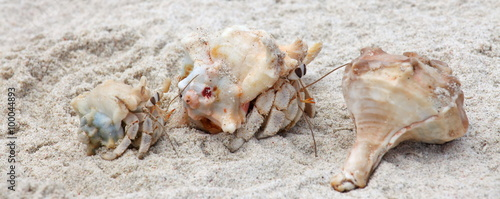 Hermit crabs on a beach of Socotra island