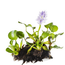 Common Water Hyacinth (Eichhor...