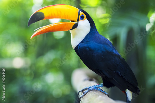 Foto op Aluminium Toekan Exotic Toucan Bird in Natural Setting, Foz do Iguacu, Brazil