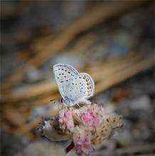 Little Blue Hairstreak Butterfly