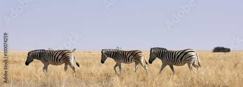 Canvas Prints Zebra Three zebras in African savanna