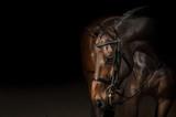 Fototapeta Konie - Portrait of a sport dressage horse