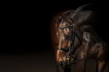 Portrait Of A Sport Dressage H...