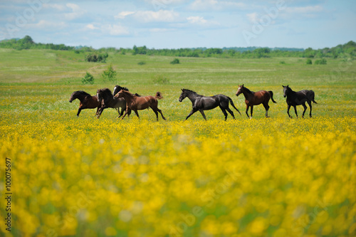 obraz dibond Herd of the horses in the field