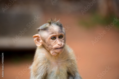In de dag The bonnet macaque is a macaque endemic to southern India. Its distribution is limited by the Indian Ocean on three sides and the Godavari, Tapti Rivers along with a related species of rhesus macaque.