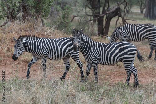 Fotografia  Zebras