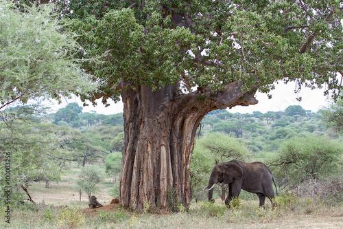 Tela  Elefante e Baobás