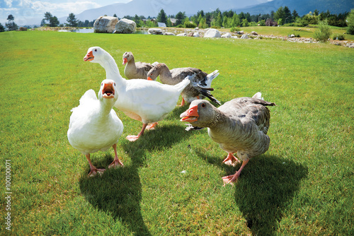 gang geese attack anger