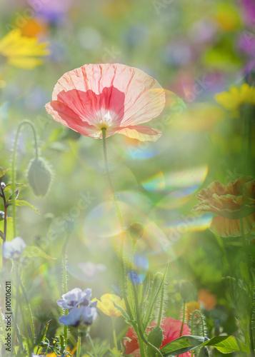 In de dag Bleke violet summer meadow with red poppies