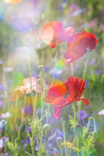 spring meadow with red poppies Poster