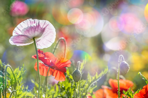 Spoed Foto op Canvas Weide, Moeras spring meadow with red poppies