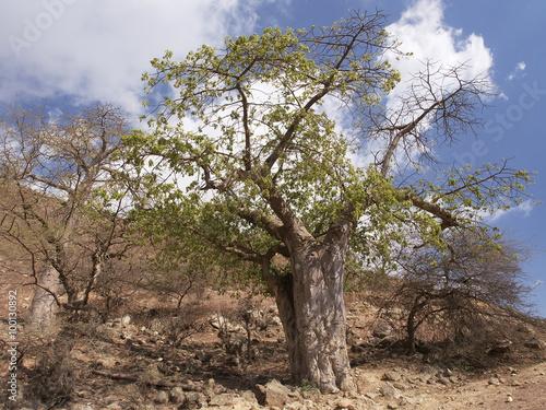 In de dag Baobab Baobab tree, Wadi Hanna, Dhofar region, Oman
