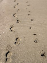 Traces Of Man And Dog On The Sand