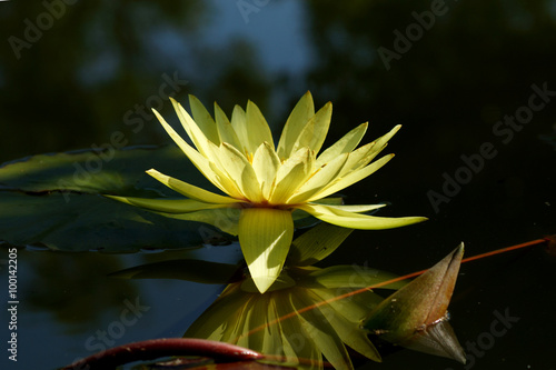 Foto  beautiful waterlily or lotus flower