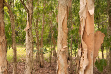 Paperbark Trees, Queensland, A...