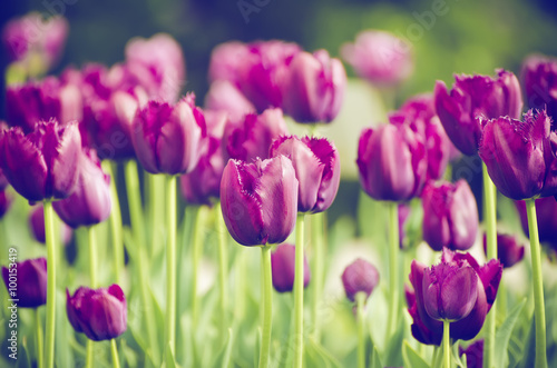Staande foto Roze Spring meadow with violet tulip flowers, floral vintage background