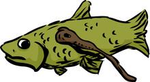 Lamprey Eating A Fish