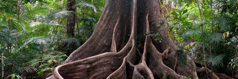 Fototapeta buttress roots, rainforest view near Henrietta Creek, Wooroonooran National Park, North Queensland, Australia