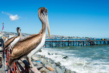 Pelican At The Fish Market Of Valparaiso, Chile