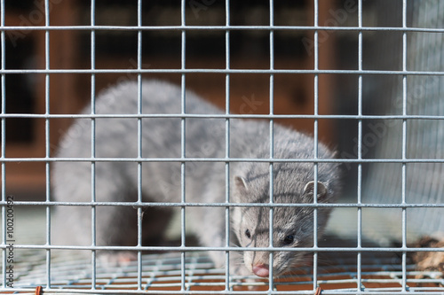 Fotomural silver mink in a cage