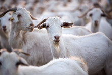 Goats In Andalucia, Spain