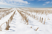 Snow Covered Corn Field In Win...