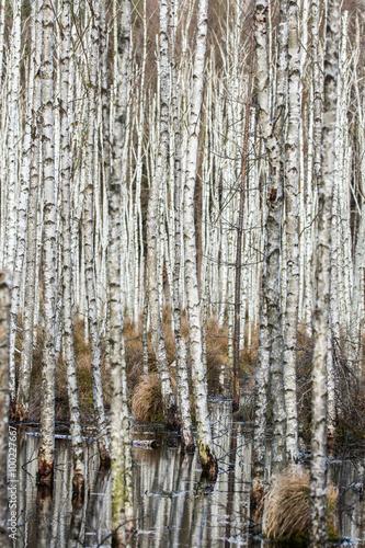bagno-w-lesie-z-brzozami