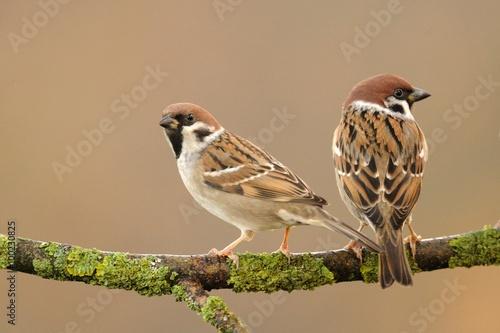 Fotomural Tree Sparrow (Passer montanus)