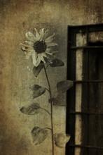 Gloomy Sunflower Window