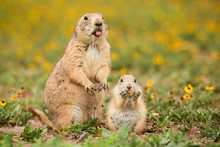 Mother Prairie Dog With Cute B...
