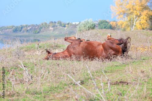 Foto op Canvas Herfst horse lying on back