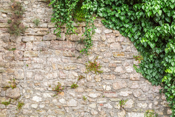 FototapetaOld stone wall with ivy as background