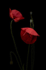 Obraz Still life fiori di papavero realizzato in studio