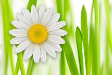 FototapetaFlowers background, white spring flowers and green grass.