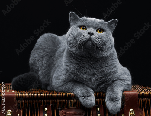 Big british cat lying on suitcase Wall mural